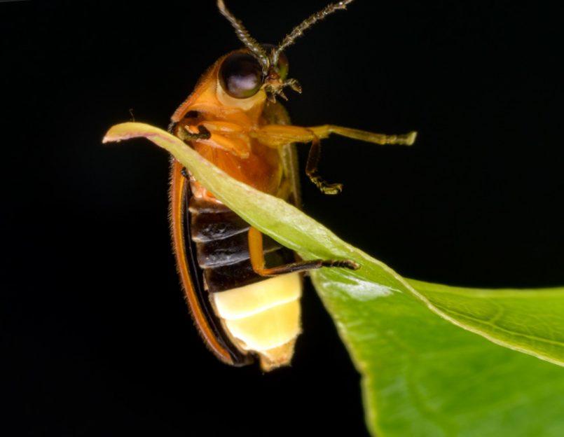 Işık Saçan Böcek: Ateş Böceği
