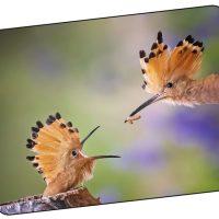 Peygambere Rehberlik Eden Kuş: İbibik