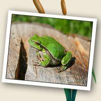 Küçük Kurbağa Kuyruğun Neredeee?