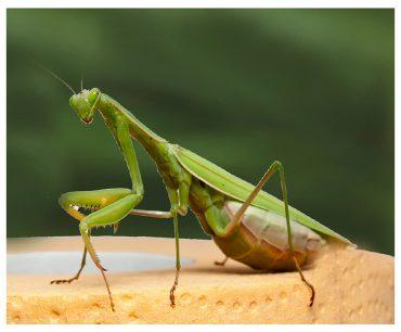 Dua eden böcek: Peygamberdevesi