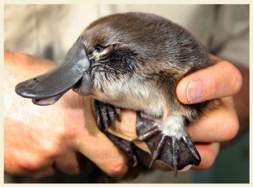 Ördek Gagalı Ornitorenk