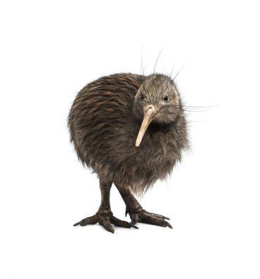 Kanatsız Kuş: KİVİ