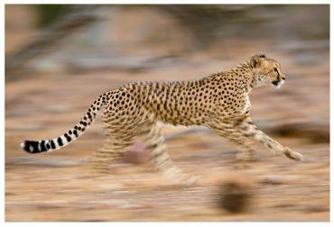 Ormanın En Hızlı Atleti: ÇİTA